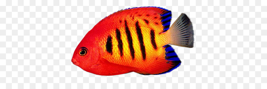 reef aquarium desktop wallpaper flame angelfish fish png download