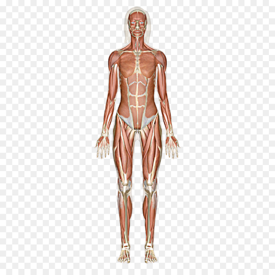 The Muscular System Skeletal Muscle Human Body Others Png Download