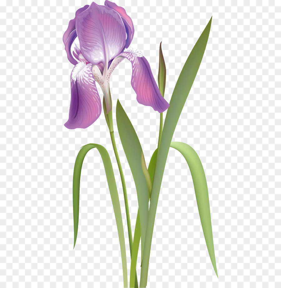 De raíz de lirio Iris de flores de color Púrpura Blanco - otros ...