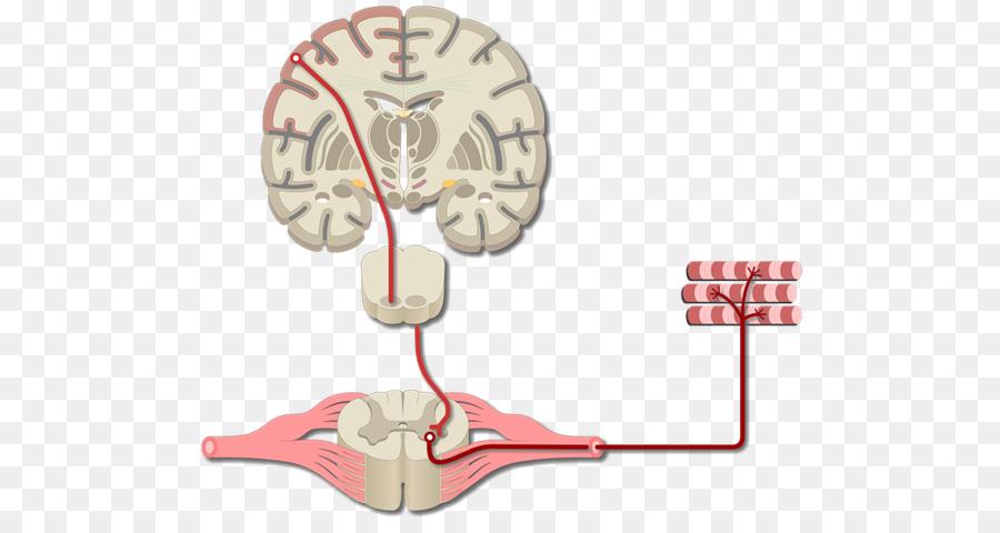 Cerebro corteza motora Primaria de la corteza Cerebral de la corteza ...