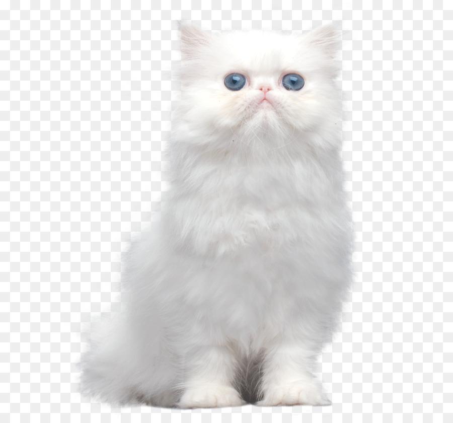 Persian Cat Asian Semi Longhair Ragamuffin Cat Himalayan Cat Turkish