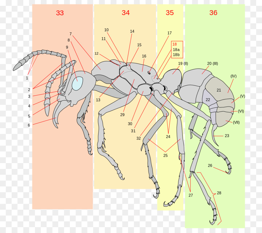 The Ants Insect Anatomy Gaster - ant png download - 1100*975 - Free ...