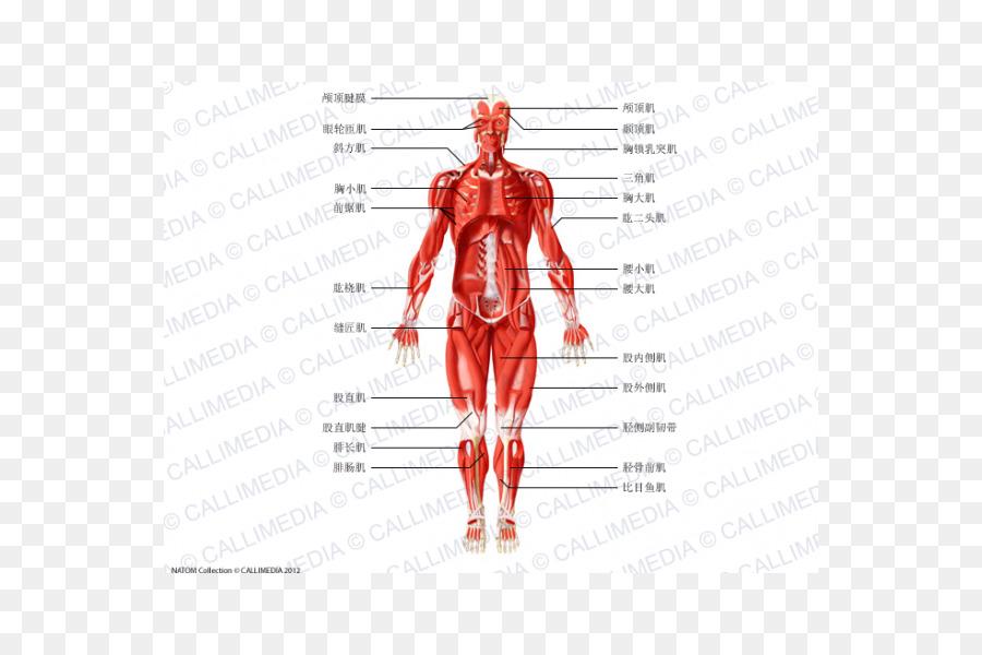 Muscle Homo sapiens Anatomie Physiologie Human anatomy Human body ...