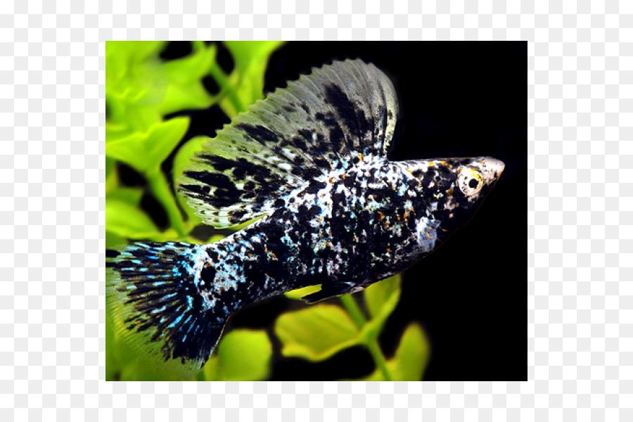 Common Molly Sailfin Molly Guppy Tropical Fish Aquarium Fish Png