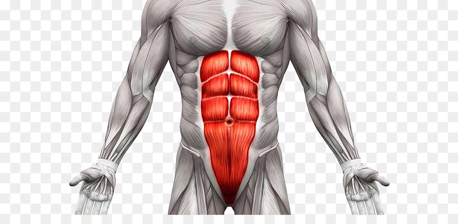 Músculo recto abdominal, músculo Transverso abdominal, músculo ...