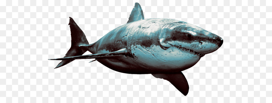 Great White Shark Background png download - 600*327 - Free