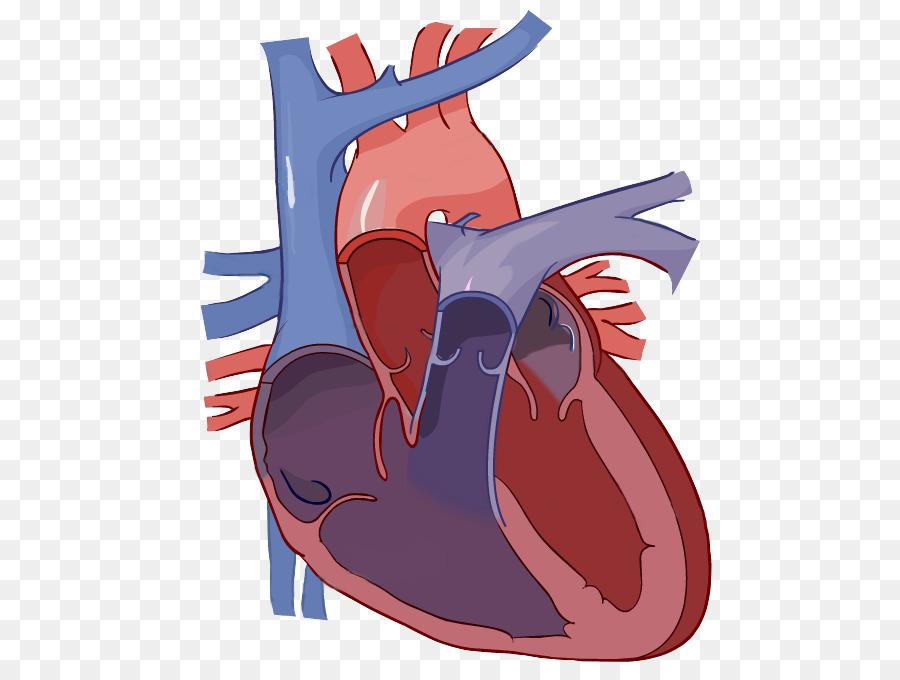 Diagrama de Corazón Etiqueta de la Anatomía del sistema Circulatorio ...