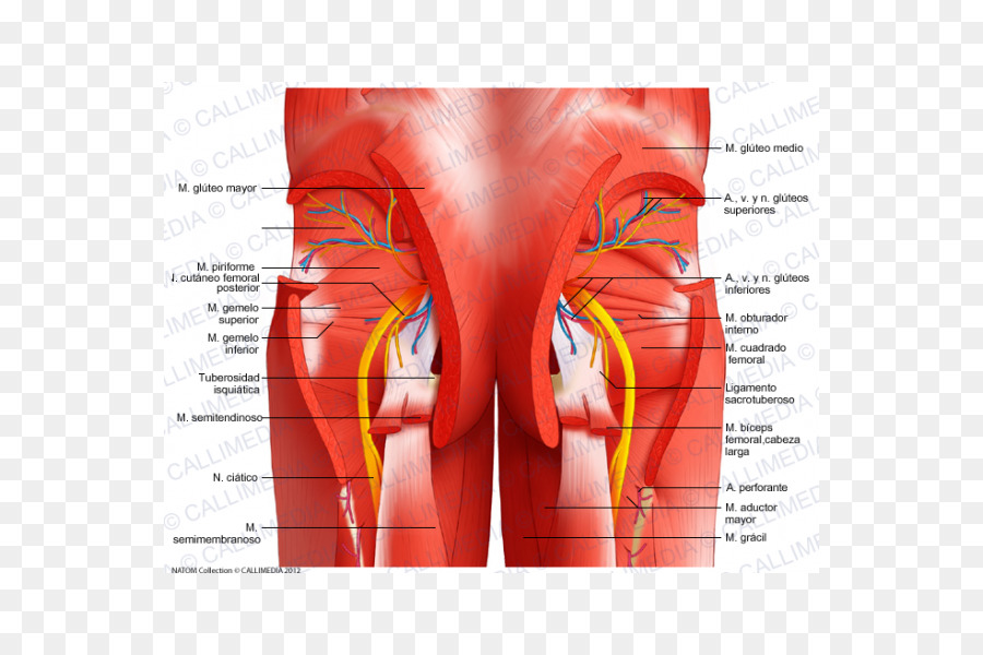 Pelvis Gastrocnemius muscle Muscular system Rectus abdominis muscle ...