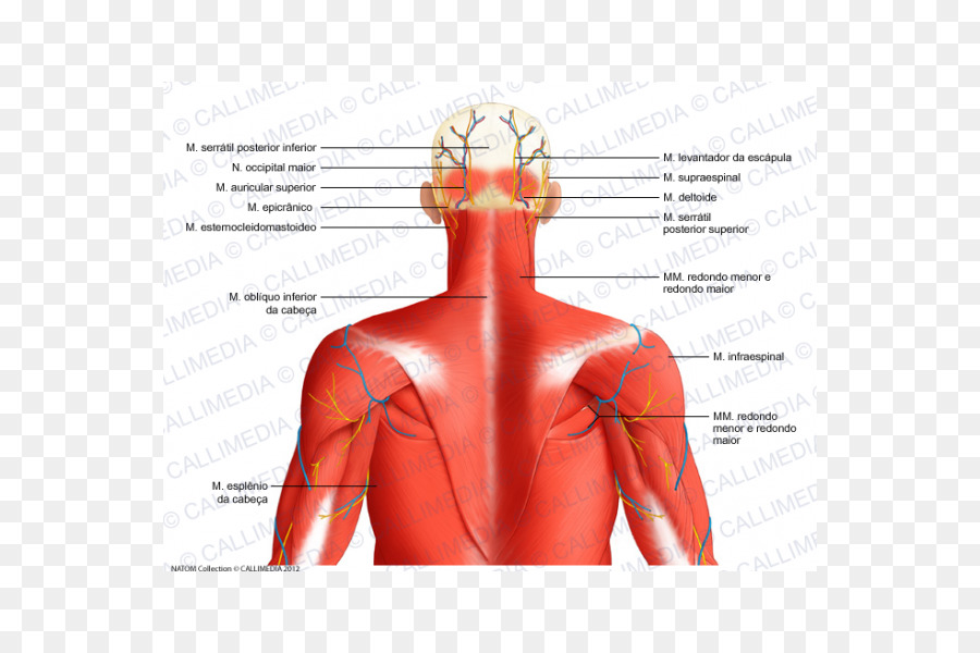 Cabeza y cuello anatomía triángulo Posterior del cuello Posterior de ...