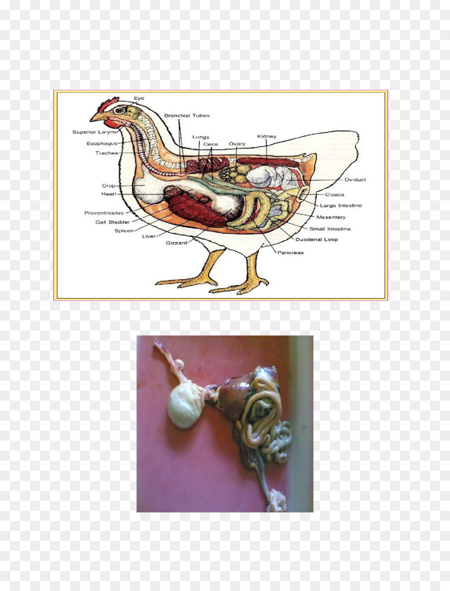 Pollo Aves Anatomía Fisiología De Las Aves - pollo png dibujo ...