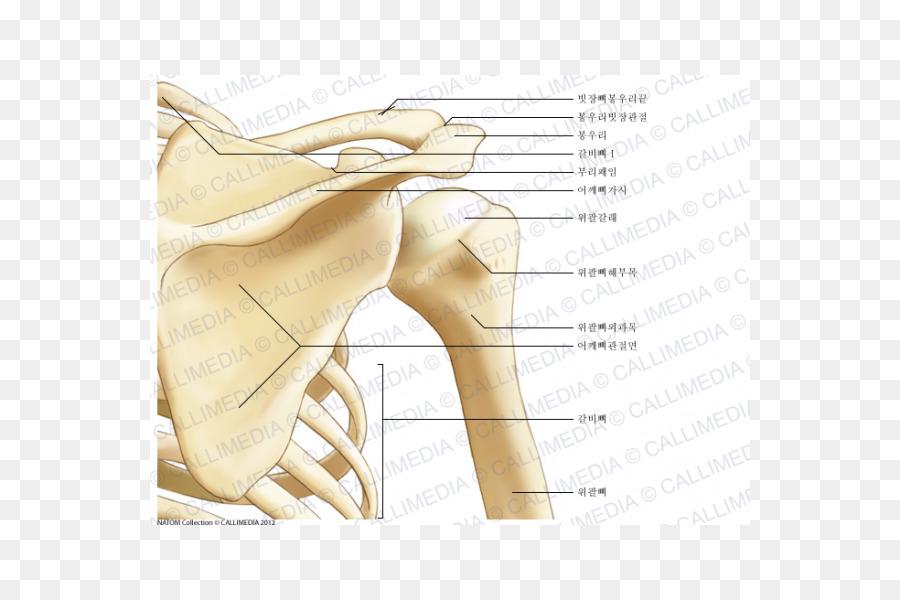Shoulder joint Anatomy Bone Scapula - abdomen anatomy png download ...
