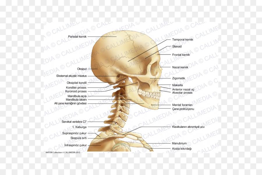 Hueso del Cuello de la Cabeza del cráneo Humano Anatomía - cráneo ...