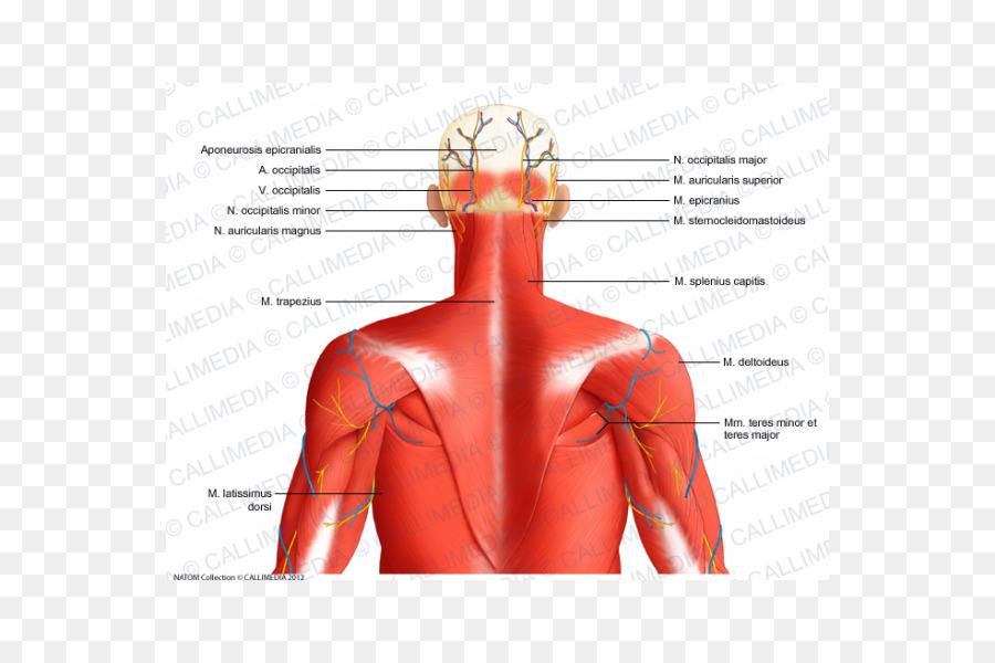 Vena auricular Posterior de la arteria auricular Posterior del ...