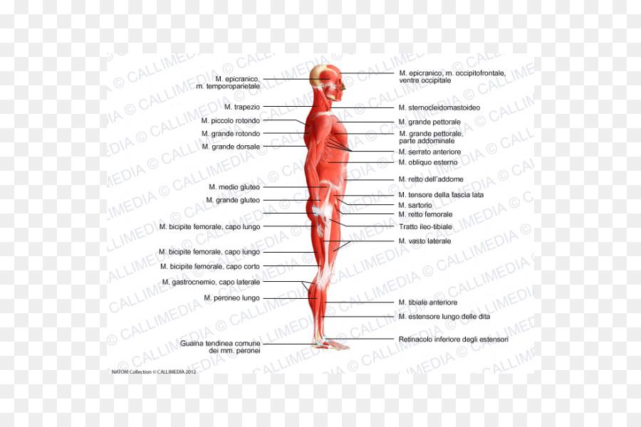 El Homo sapiens cuerpo Humano, músculo Trapecio, sistema Muscular ...