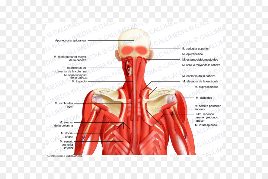 Posterior triangle of the neck Head and neck anatomy Posterior ...