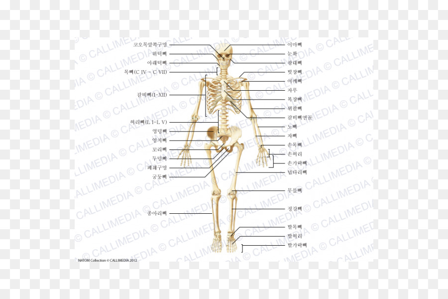 Zygomatic Bone Shoulder Anatomy Human Body Vii Corps Png Download