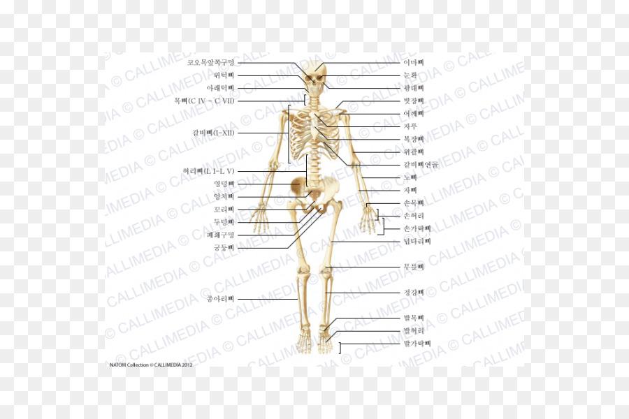 Hueso cigomático Hombro de la Anatomía del cuerpo Humano - Vii ...
