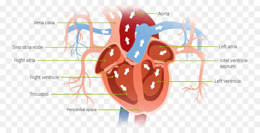 Corazón Bombee Sangre Diagrama De - corazón Formatos De Archivo De ...
