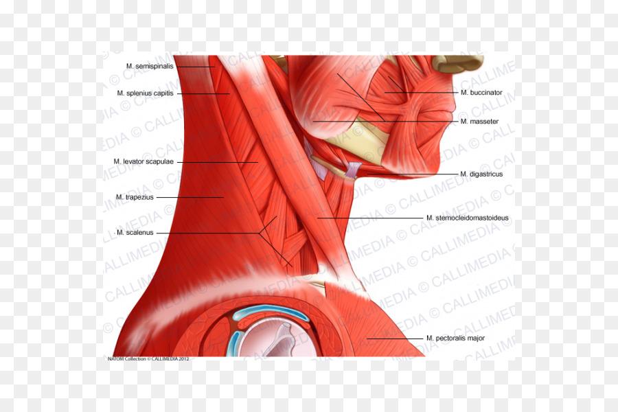 Head And Neck Anatomy Muscle Pelvis Human Anatomy Human Body Arm