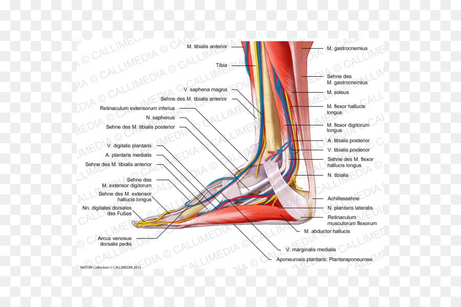 Muscle Nerve Muscular system Foot Human anatomy - arm png download ...