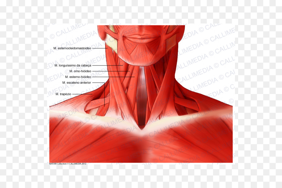 Sternocleidomastoid muscle Head and neck anatomy Human body - Neck ...