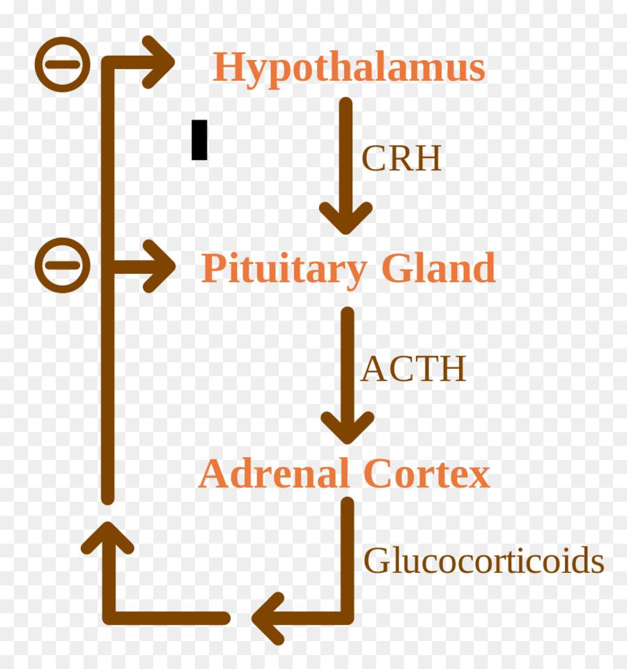 Negative Feedback Adrenocorticotropic Hormone Adrenal Gland