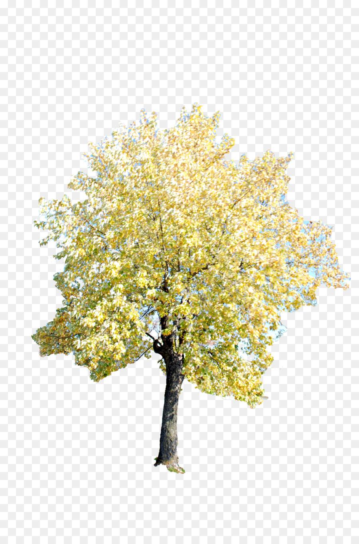 Twig Tree Ginkgo biloba - tree png download - 2592*3872 - Free ...