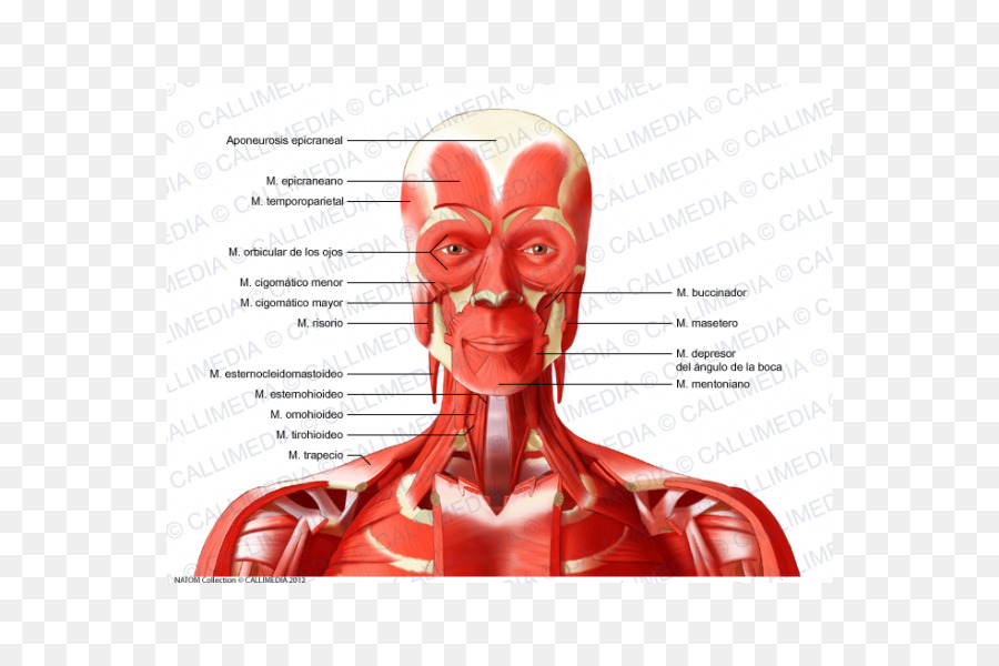 Neck Vein Head Artery Muscle - Face png download - 600*600 - Free ...