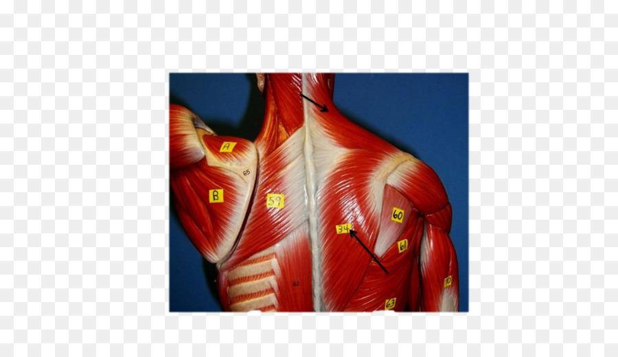 Shoulder Rhomboid Major Muscle Gracilis Muscle Rhomboid Muscles