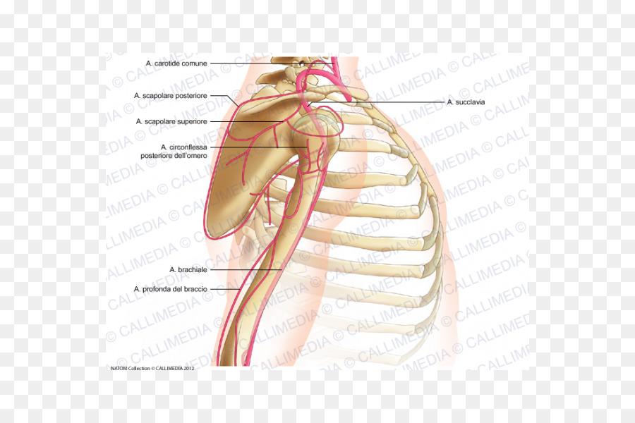Thumb Shoulder Joint Arm Posterior humeral circumflex artery - arm ...