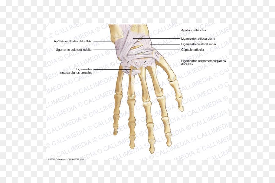 Pulgar huesos del Metacarpo del Ligamento de la Mano - de la mano ...