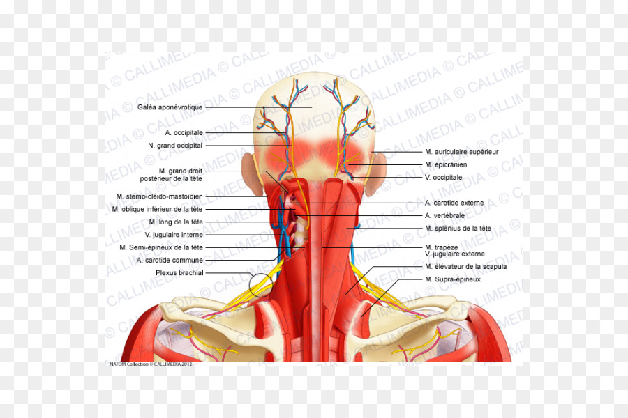 Aponeurosis Posterior triangle of the neck Nerve Muscle - Neck ...