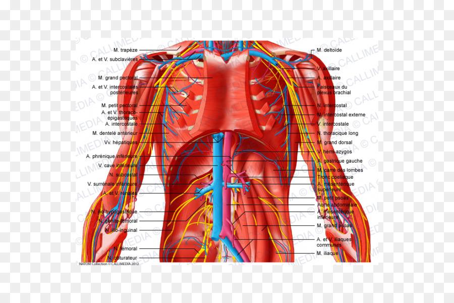 El Abdomen de los vasos Sanguíneos Subcostalis músculo de la Pelvis ...