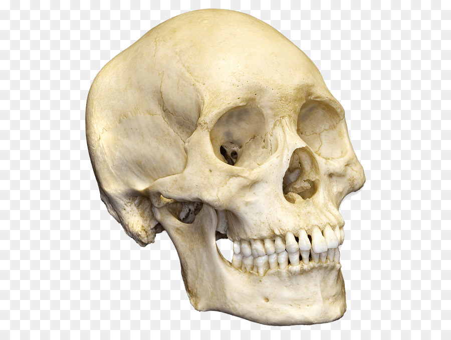 Human skull Human skeleton Bone Anatomy - skull png download - 600 ...