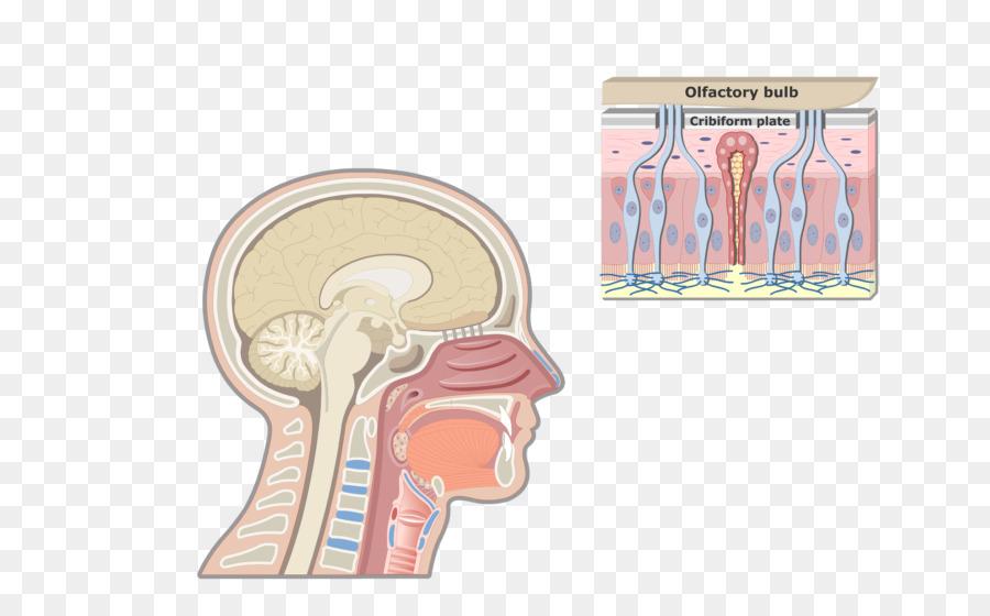 Anatomía de la laringe manzana de Adán Faringe sistema Respiratorio ...