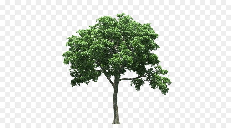texas state tree oak birch tree png download 500 500 free