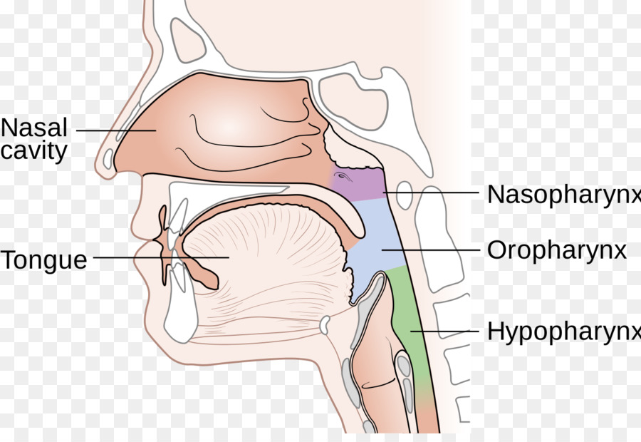 Nasopharynx Cancer Nasal Cavity Nose Diagram Nose Png Download