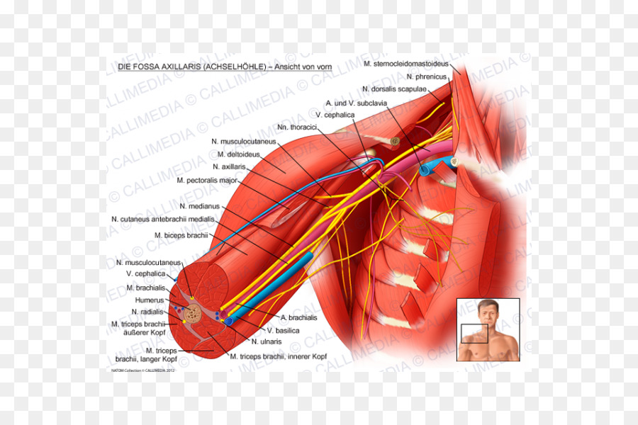 Axillary nerve Axillary nerve Anatomy Upper limb - others png ...