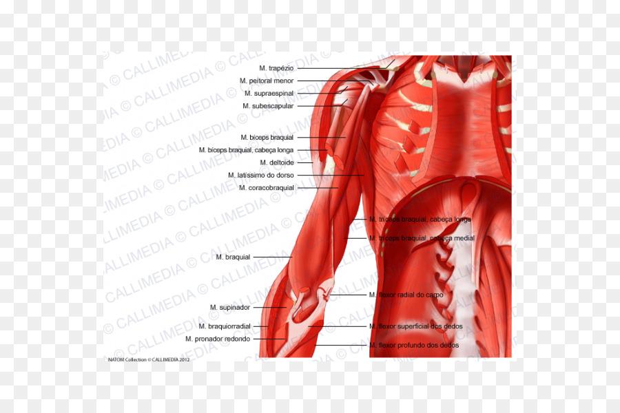 El músculo del Abdomen cuerpo Humano Hombro anatomía Humana - brazo ...