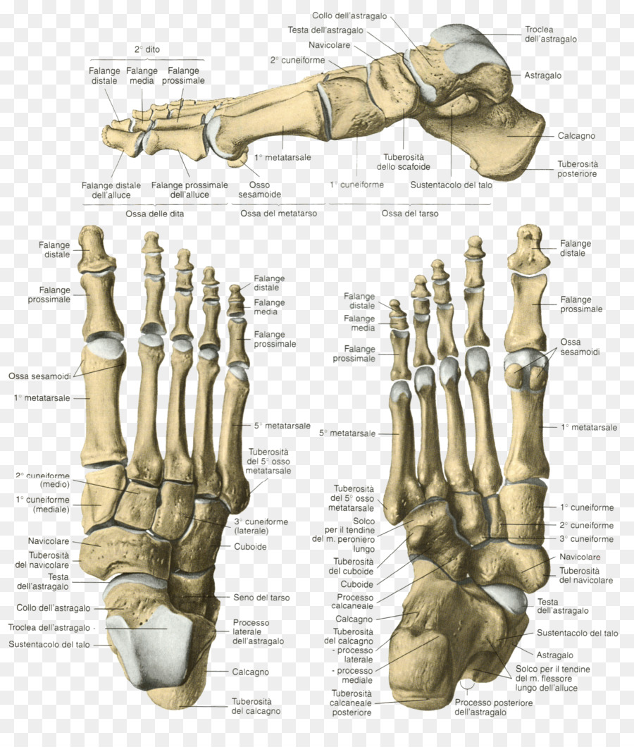 Finger Skeleton Bone Foot Human anatomy - Skeleton png download ...