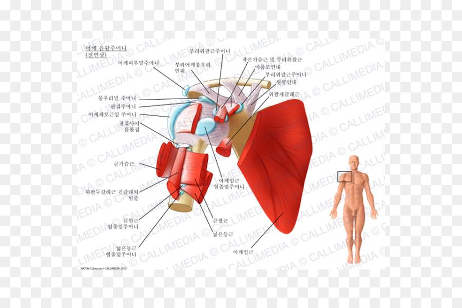 Sinovial (bursa espacio subcoracoideo bursa Subacromial músculo ...