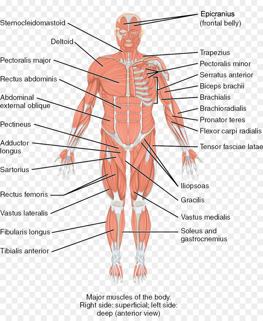 Human body Skeletal muscle Human skeleton Anatomy - others png ...