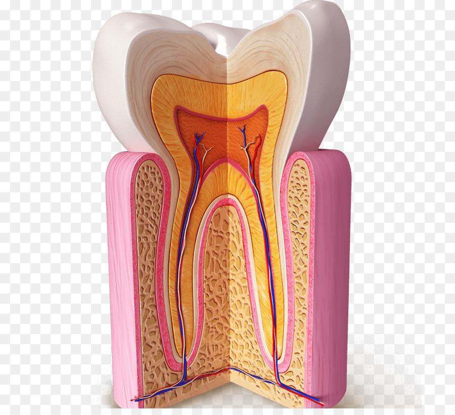 Diente humano anatomía Dental Homo sapiens de la Dentina - otros png ...
