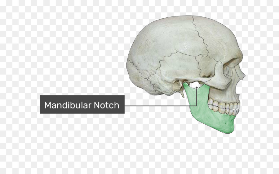 Zygomatic Process Of Temporal Bone Zygomatic Bone Zygomatic Arch