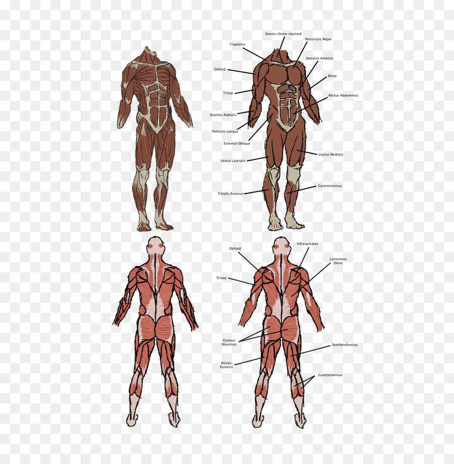 Hombre de vitruvio Homo sapiens Músculo del cuerpo Humano Anatomía ...