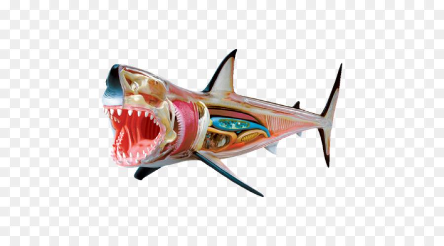 Tiburón anatomía anatomía del Tiburón jaquetón blanco cuerpo Humano ...