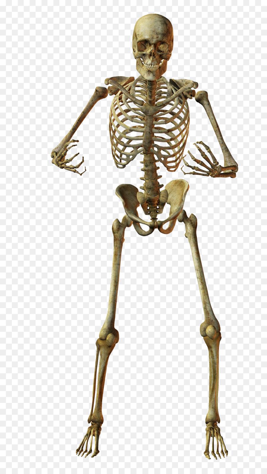 Esqueleto humano Huesos Anatomía - Esqueleto png dibujo ...