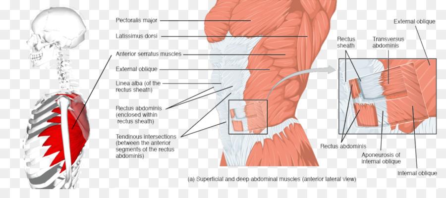 Musculo recto anterior de la pared Abdominal Transverso del Abdomen ...