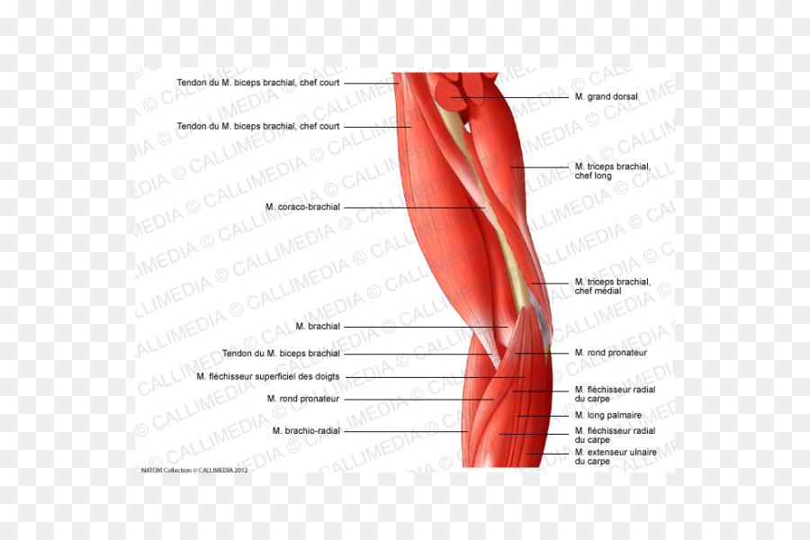 Pulgar Codo Músculo del Brazo del sistema Muscular - brazo Formatos ...
