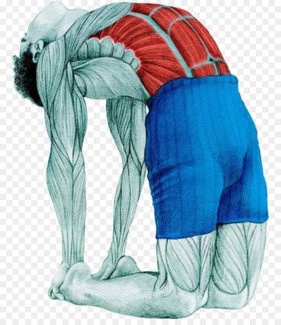 Ejercicio de estiramiento de Yoga Anatomía de aptitud Física de ...